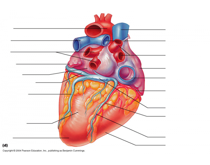 Label The Heart Posterior View