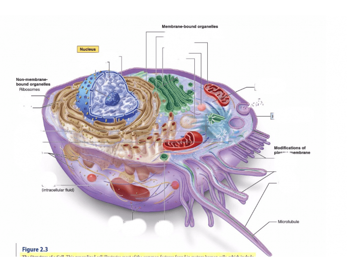 diagram of a human cell diagram of a cell organelles human cell diagram