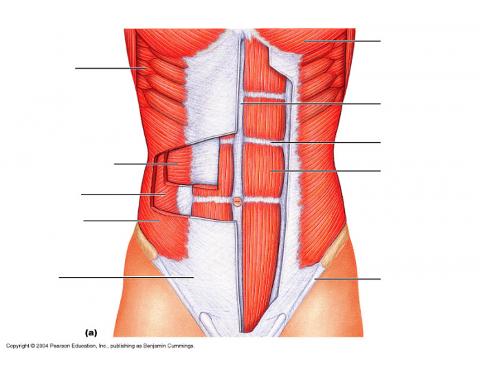 Abdominal Muscles - Ventral Surface