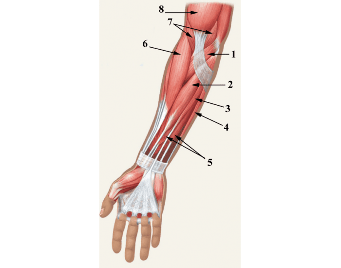 Muscles of the forearm - anterior