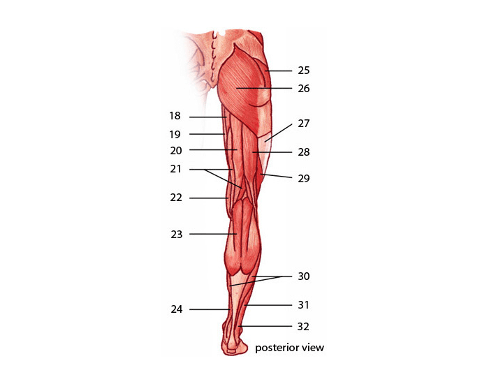 Posterior Leg Muscles