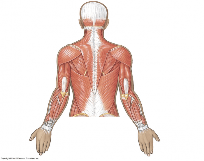 Superficial Muscles of Upper Body - Posterior View