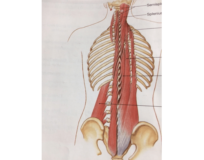 Muscles of the spine