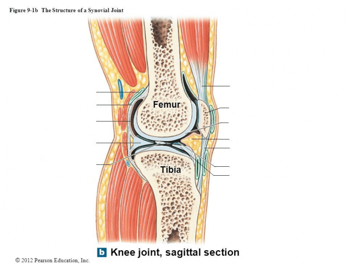 Knee Joint Lateral Parasagittal Section Purposegames