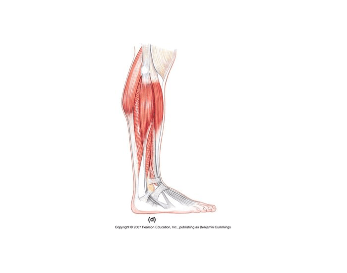 Game Statistics - Muscles of the Lateral Lower Leg ...