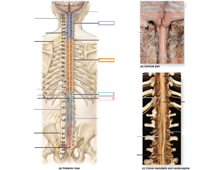 Figure 161 Gross Anatomy Of The Spinal Cord Purposegames