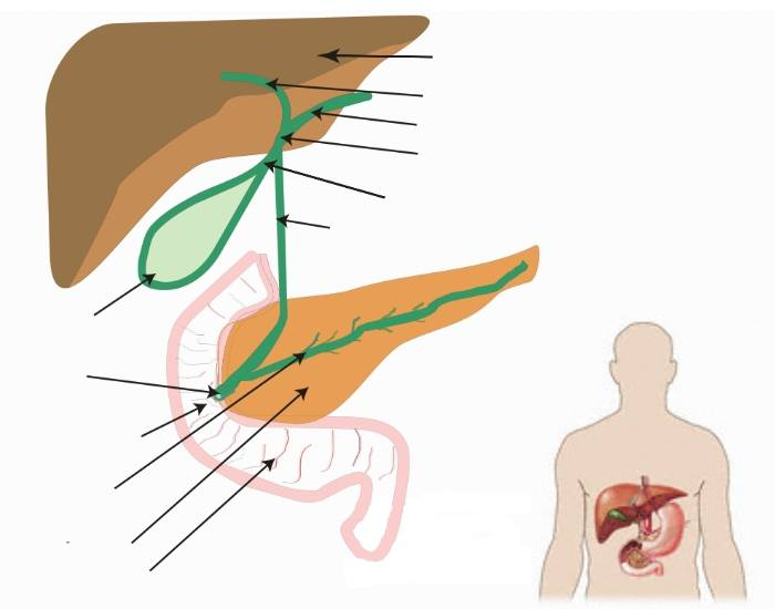 Anatomy of the biliary system purposegames ccuart Choice Image