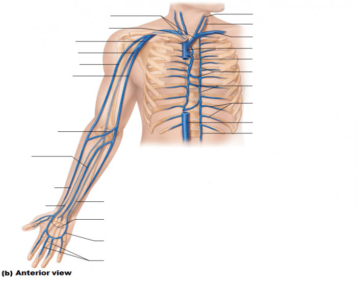 veins of the thorax and right upper limb