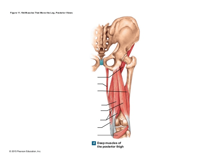 Muscles That Move the Leg Posterior (a)