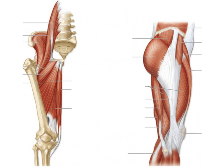 Figure 1215 Muscles That Act On The Hip And Thigh Purposegames