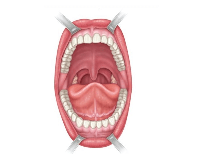 Anterior View Of Oral Cavity