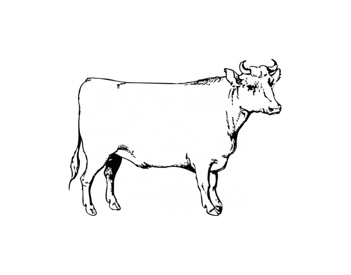Magnificent External Anatomy Of Cow Elaboration - Anatomy And ...