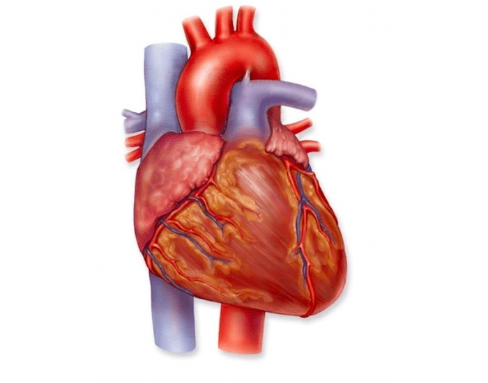 Game Statistics - External Anatomy and Features of the Heart 2 ...