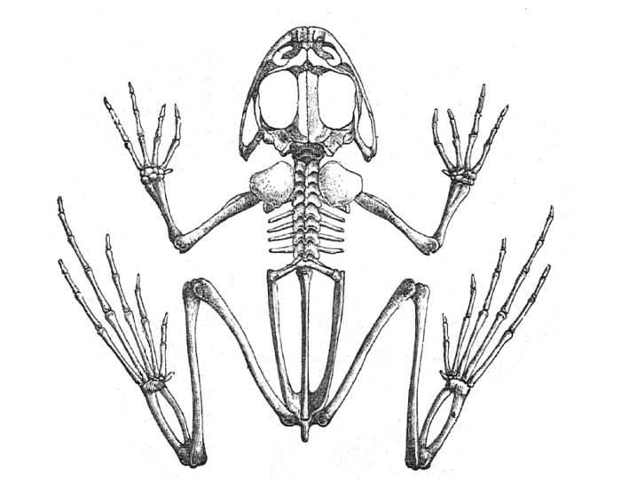 98 Skeletal Anatomy Of A Frog Bones Within A Frog Skeleton Of A