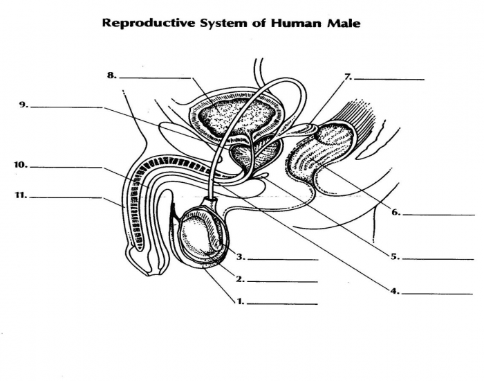 Basic Male Reproductive