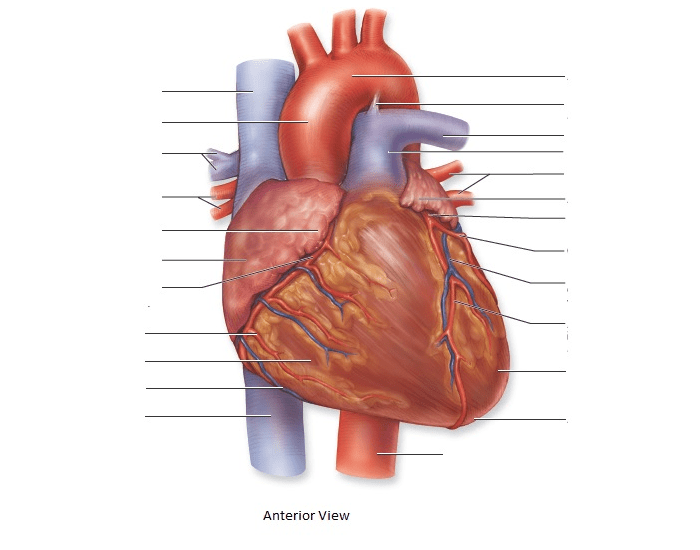Game Statistics - Figure 22.5 Anterior External heart anatomy ...