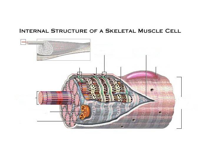 skeletal muscle cell There are three types of muscle tissue found in the human body there are visceral muscles, which consist of smooth muscle tissue, which is controlled.