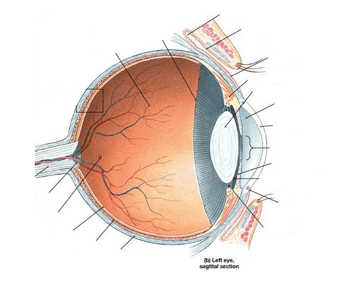 Game statistics sagittal section of the eye purposegames sagittal section of the eye ccuart Gallery