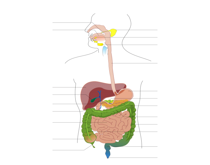 Human digestive system model labeled