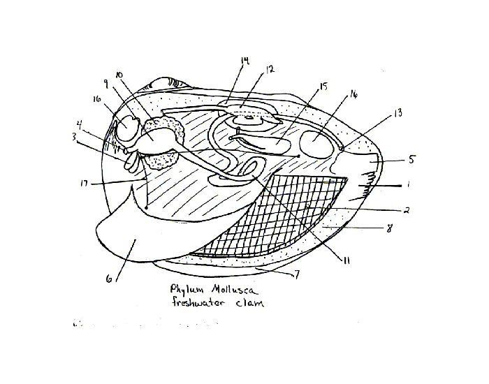 Clam Parts And Functions  Part Iii