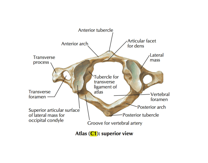 Atlas (primeira vertebra cervical) - PurposeGames