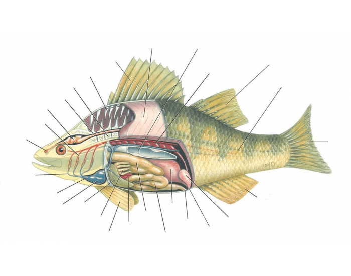 Internal Perch Anatomy Purposegames