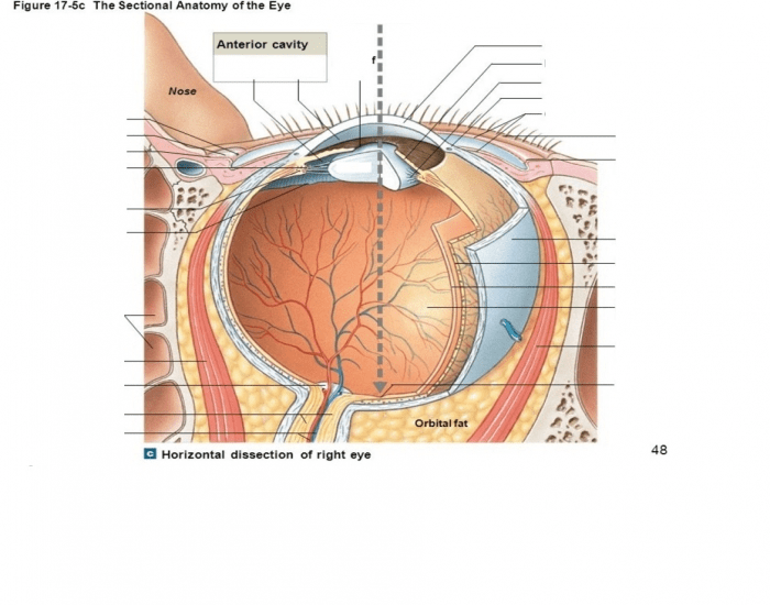 sectional anatomy of the eye purposegames. Black Bedroom Furniture Sets. Home Design Ideas