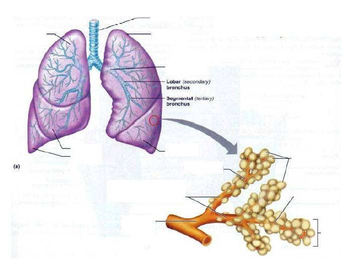 Lungs 4