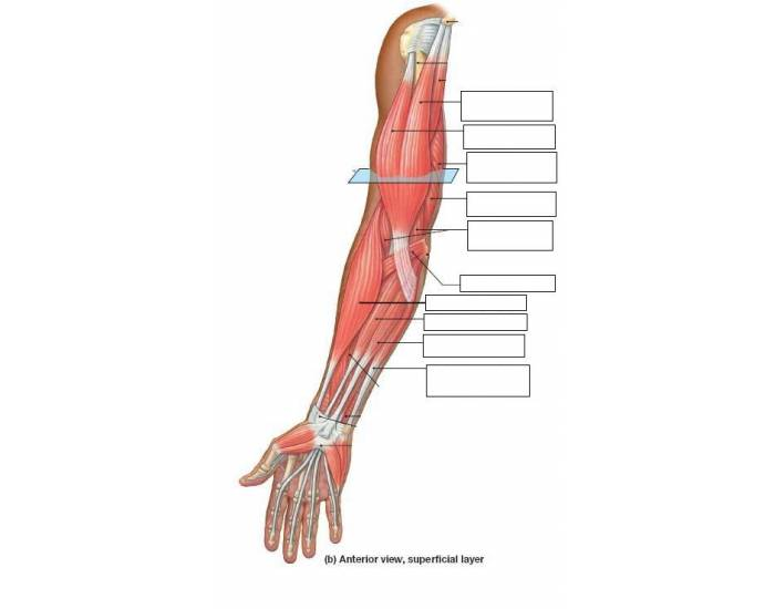 Arm muscles ant. view (latin)