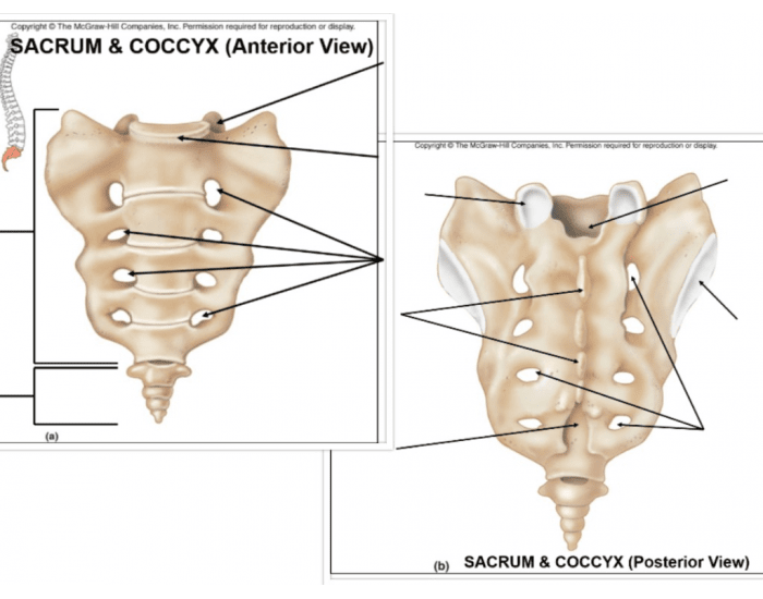Game Statistics Sacrum And Coccyx Anatomy Anterior And Posterior