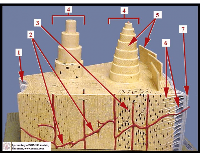 Osteon Bone Model Labeling Purposegames