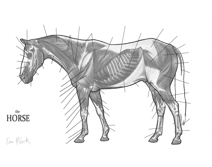 Superficial Muscles of the Horse
