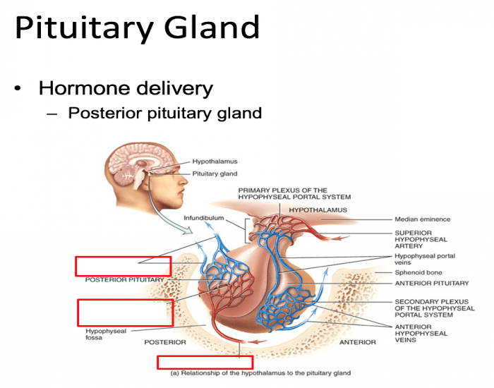 pituitary glands The pituitary gland is called the master gland of the endocrine system it controls many other hormone glands in the body.