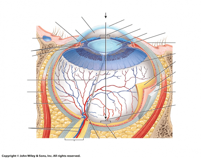 Superior view of transverse section of right eye purposegames ccuart Gallery