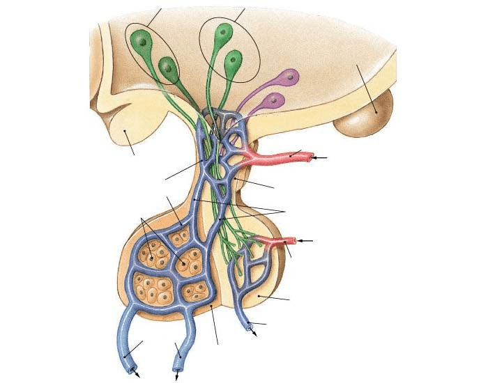 The Pituitary Gland and the Hypophyseal Portal
