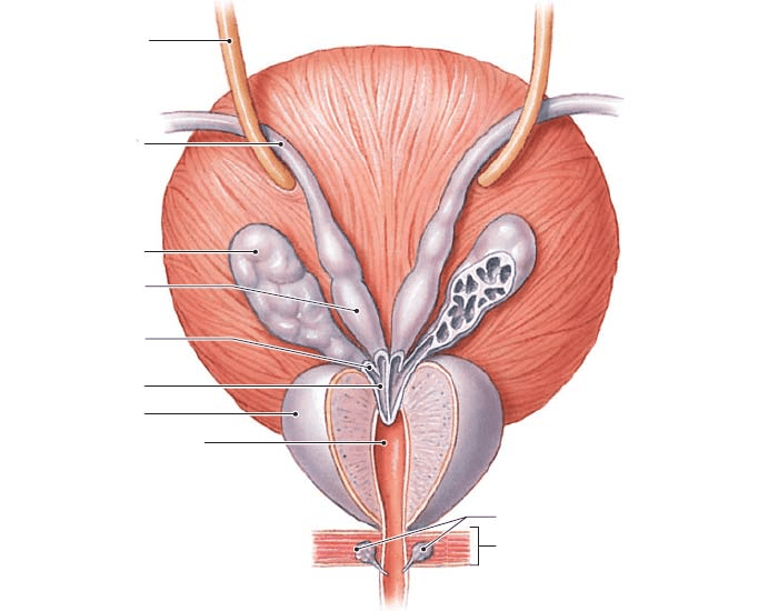 The Ductus Deferens