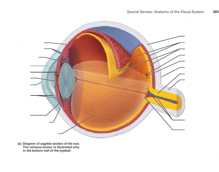 Sagittal Section Of The Eye Purposegames