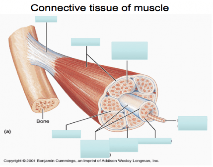 tissue facial Connective muscles of