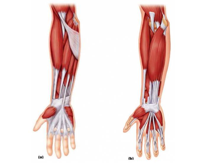 Muscles In The Lower Arm