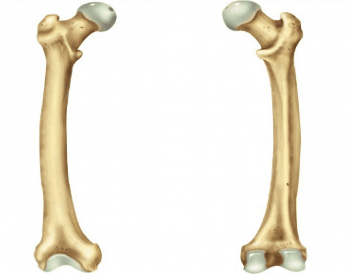 Anterior And Posterior View Of Right Femur