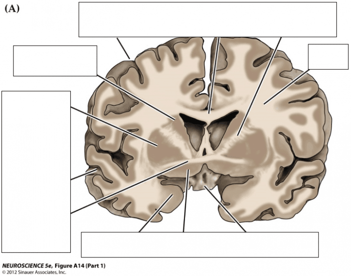 Brain Frontal Cross Section A