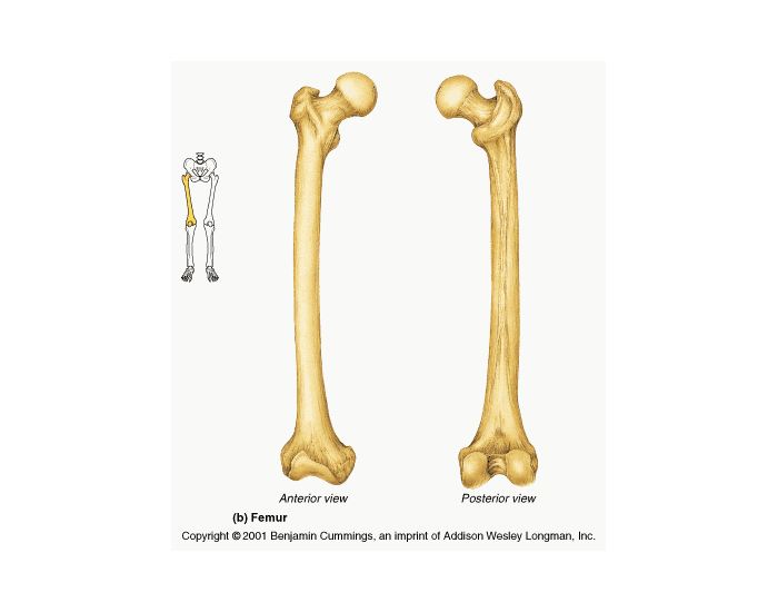Features of the Femur