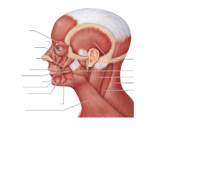Lateral View Of Muscles Of The Scalp Face And Neck