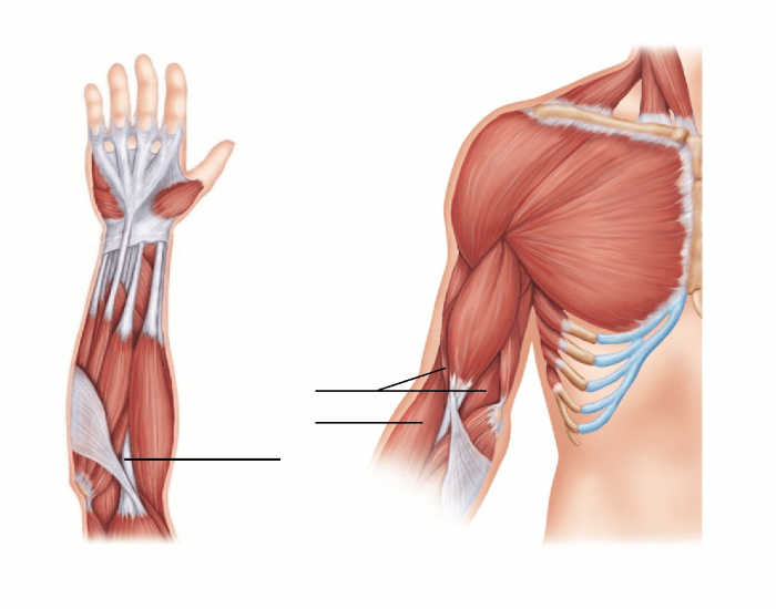 Muscles that move the Arm and Forearm