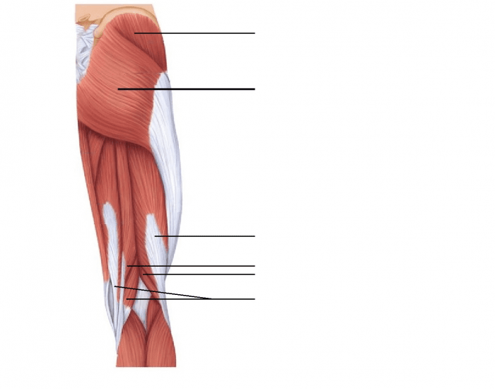 Posterior Muscles of the Right Hip and Thigh