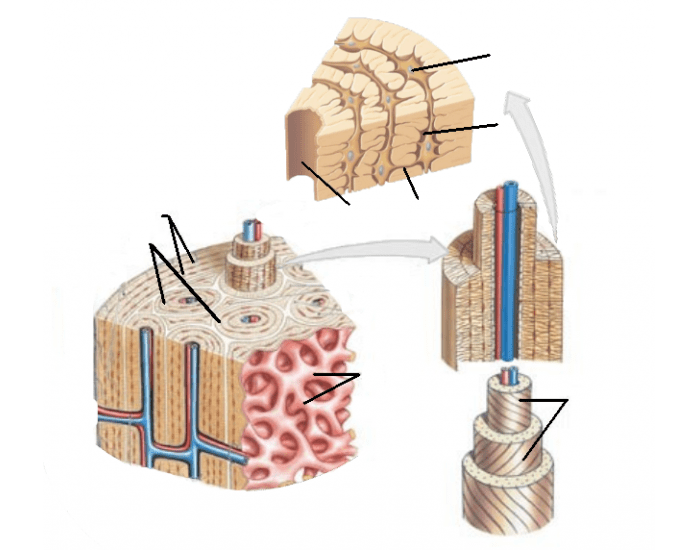 Osteon Structure