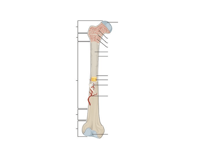 32 Label The Parts Of A Long Bone
