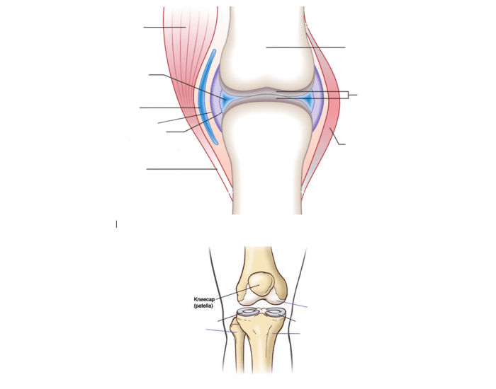 Label The Synovial Joint Purposegames