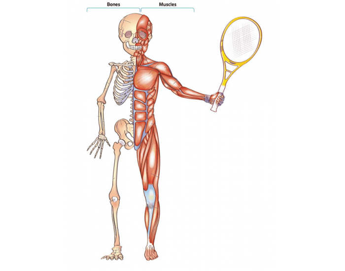 Game Statistics Bones And Muscles In Our Bodies Purposegames