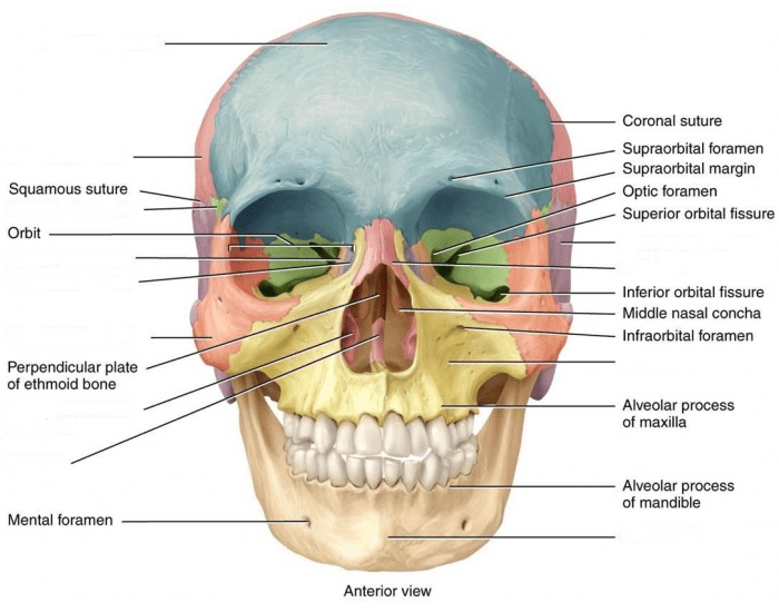 Game Statistics - Anatomy - Facial Bones - PurposeGames